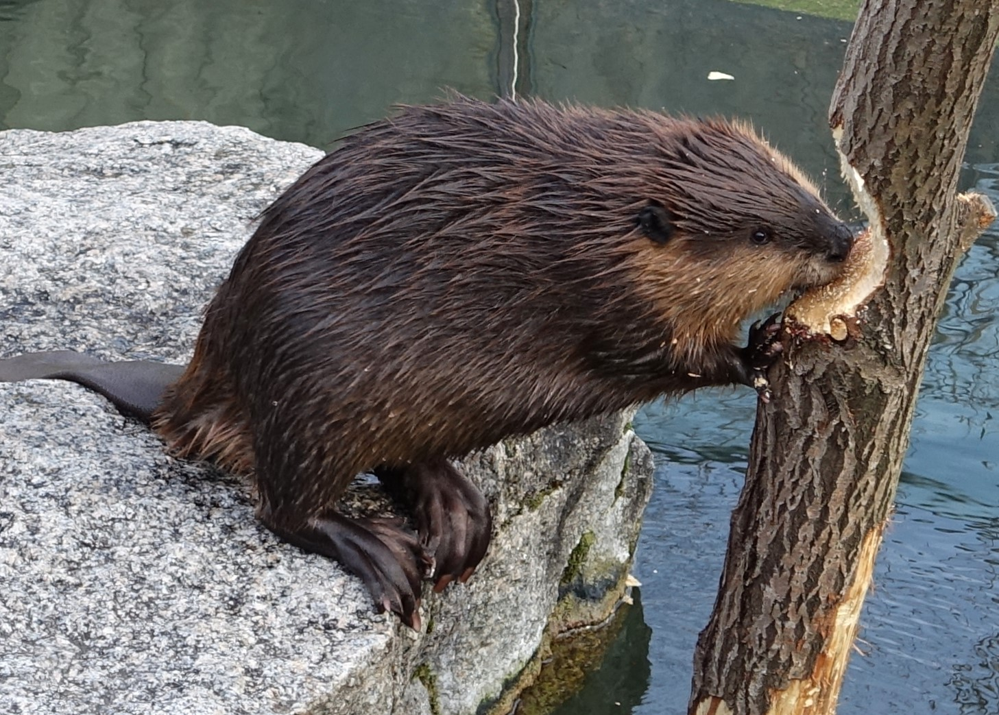 North American Beaver Chewing a Log